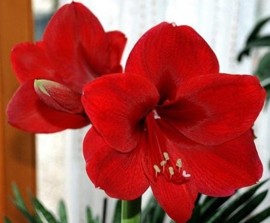 Счастья, луковичные цветы купить интернет магазин