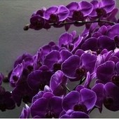 Семена орхидеи бабочки лот 20 шт