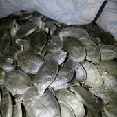Тыква голосемянная  Лот   - 30 семян