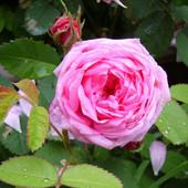 Продам однолетниие саженцы чайной розы - 2 шт в лоте