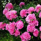 Розовый пион многолетник 1деленка
