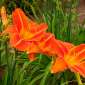 Лилейник — многолетник для занятых: очень большой куст. Многолетние растение! 10 штук