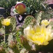 Опунция садовая (зимостойкая)