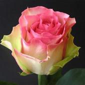 Лот на 2 часа. Не пропустите. 2 куста роз сорт Малибу и белая. Фото корней.