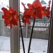 Красная лилия крупная, 2 хорошо пророщенные луковицы