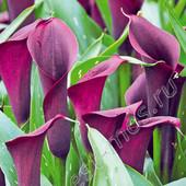 Собирайте лоты!!Комнатная калла Purple Sensation .В лоте  1 стаканчик фото 3 - 4.
