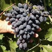 Виноград Атос -1 саженец