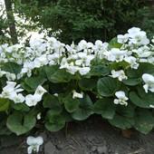 Фиалка садовая ( два вида), в лоте одна, по ставке можно вторую докупить.Много цветов.