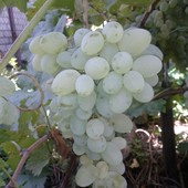 Виноград Аркадия!!! Укорененные зеленые саженцы.Фото все мои!!!