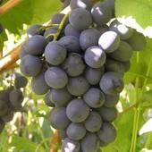 """Виноград """" Молдова"""" Укорененные зеленые саженцы.Фото 2."""