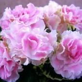 Нежная, невинная сортовая красотка Вересковый сад, детка с фото 2