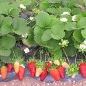 Ремонтантная крупноплодная высокоурожайная земляника - непревзойденный вкус и аромат!Ягоды до мороза