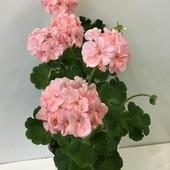 """Пеларгония лососевая """"Рафаэлла"""" На 2,3 фото продаваемое растение. Сейчас цветет!!!"""