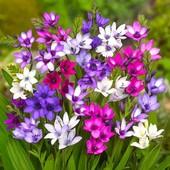 Много цветочных лотов!!! Бабиана микс .В лоте 2 луковицы( фото 2 )
