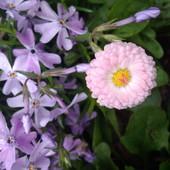 Маргаритки смесь цветов, лот 3 куста!