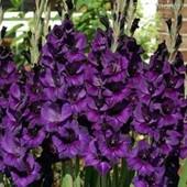 Собирайте лоты!! Крупноцветковый гладиолус - Purple Flora.В лоте 1 очень большая луковица .