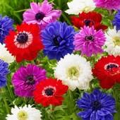 Клубни анемон микс цветов лот 3 шт !!!