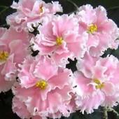Нежный сорт Розовая акварель, крупные махровые цветы, в лоте крупная детка, всего одна!!Много сортов