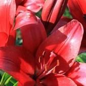 Собирайте лоты!! Лилия высокая - 140 см.- Colares- Ла - гибрид.В лоте 1 луковица.Огромный цветок