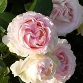 Черенки плетистых роз - 5 сортов из моего сада!!!