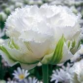 Голандский тюльпан Снежный кристалл. Пора сажать!!!
