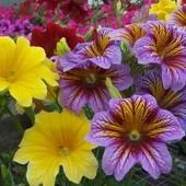 Сальпиглосисс смесь расцветок 100+ семян