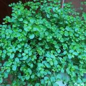 Солейролия - зелёный шар) Самое неприхотливое комнатное растение!
