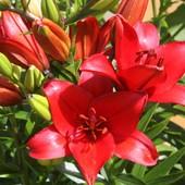 1 луковица Лилии Original Love (Настоящая Любовь) это очень яркая с лёгким ароматом лилия.в след.год