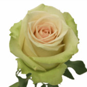 Чайно гибридная роза Ла перла