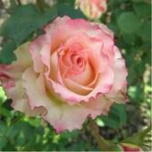 Роза Дуэт -1 саженец