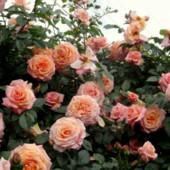 Плетистая роза Барокко