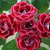 Глоксиния Брокада Ред. Большой укорененный лист. Фото 2