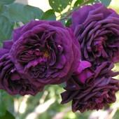 Роза флорибунда Пэрпл Эден -1 саженец