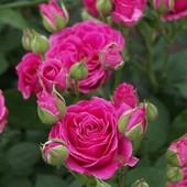 Роза спрей(мини) Лавли Лидия-1 саженец