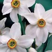 Нарцисс в лоте 2 луковицы на фото 4