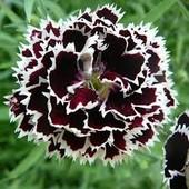 Гвоздика Геддевига черная с белой каймой, свои семена