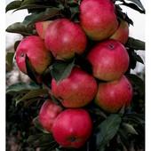 Колонновидная яблоня Валюта ( зимний сорт )-ароматный ,сладкий.
