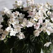 White Robi -вкорінений листочок з діткою