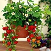 Ароматная садовая земляника-25шт