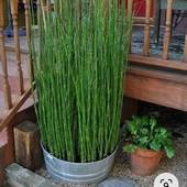 декоративний ,зимовостійкий бамбук!!!