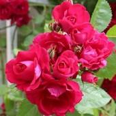 Вьющаяся роза Flammentanz. Корнесобственный саженец! Устойчива к морозу и болезням!