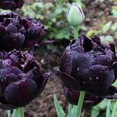 Собирайте лоты!! черный махровый тюльпан Black Hero Луковицы 12+