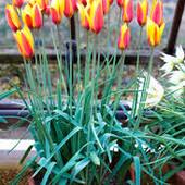 Яркие, необычные тюльпаны Clusiana Chrysantha будут прекрасно смотреться в вашем саду.