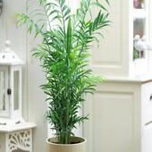 Пальма Хамедорея, 5 шт семян до 2024 года