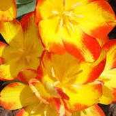 Собирайте лоты!! Многоцветковый тюльпан Флоретт .