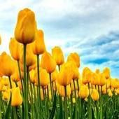 Стронг Голд. Бутон длинной вытянутой формы насыщенно-желтого цвета размером до 9 см.В лоте 2 луковиц