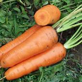 Голландские семена моркови АбакоF1,лот-400семян