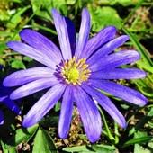Собирайте лоты!Анемона Blue Shades- посадив будет радовать каждую весну.