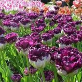 Собирайте лоты!! Тюльпан Purple Peony - Синий пион.