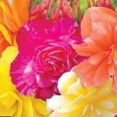 Семена крупноцветковых бегоний Роял F1 или ампельной Шансон F1,смеси цветов. Лот 1 пачка на выбор.